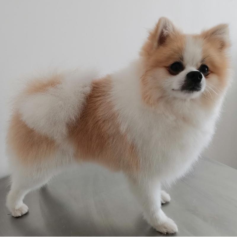 Pomeranian u psiego fryzjera w lecznicy Jamnik