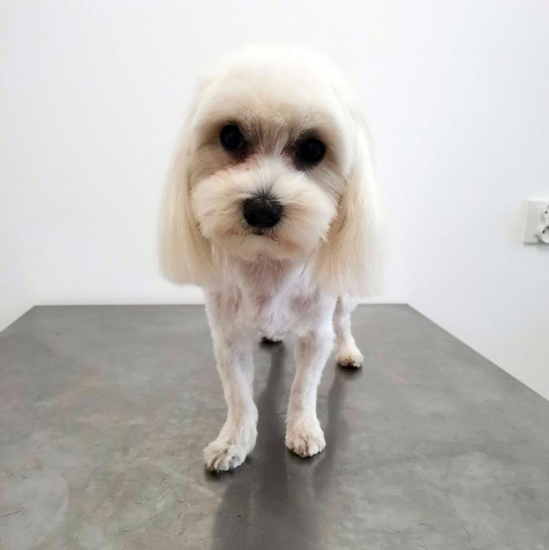 Maltańczyk u psiego fryzjera w lecznicy Jamnik